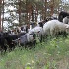 owce wrzosówki (fot. M. Galus)