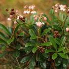 pomocniki baldaszkowe (Chimaphila umbellata) - fot. K. Jędrzejewska-Szmek