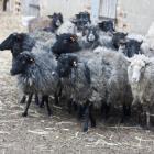 owce wrzosówki (fot. M. Załuska)