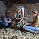 strzyżenie owiec (fot. M. Załuska)