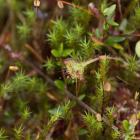 rosiczka okrągłolistna (Drosera rotundifolia) - fot. M. Załuska