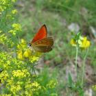 czerwończyk dukacik (Lycaena virgaureae) - fot. M. Galus