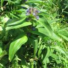goryczka krzyżowa (Gentiana cruciata) - fot. M. Galus